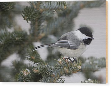 Black-capped Chickadee, Poecile Wood Print by John Cancalosi