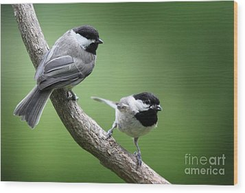 Wood Print featuring the photograph Black-capped Chickadees by Jack R Brock