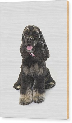 Black Cocker Spaniel With Golden Boots Wood Print by Corey Hochachka