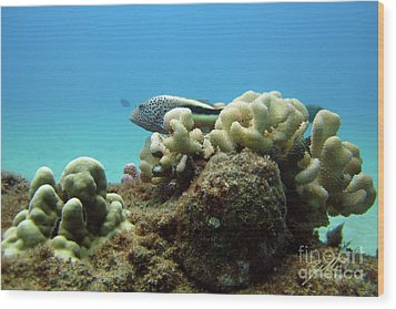 Wood Print featuring the photograph Black Side Hawkfish by Suzette Kallen