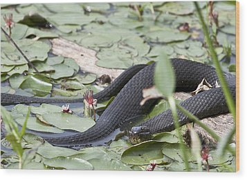 Wood Print featuring the photograph Snake In The Lillies by Jeannette Hunt