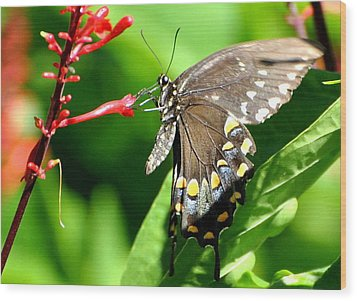 Black Swallow Tail Butterfly Wood Print
