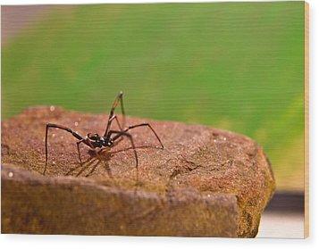 Black Widow Spider Male Wood Print by Douglas Barnett