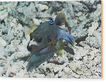 Blackspotted Puffer Wood Print by Georgette Douwma