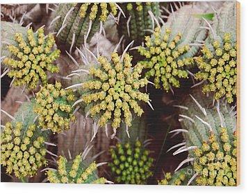 Blooming Cacti Wood Print by Alexandra Jordankova