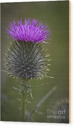 Blooming Thistle Wood Print by Clare Bambers