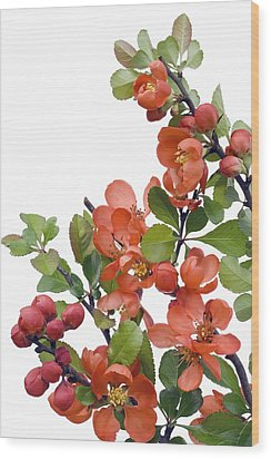 Wood Print featuring the photograph Blossoming Japanese Quince Chaenomeles by Aleksandr Volkov