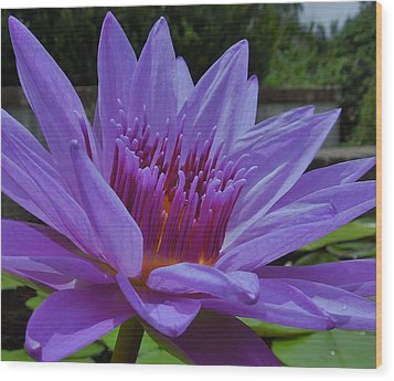 Blue And Purple Lotus Flower Wood Print by Chad and Stacey Hall