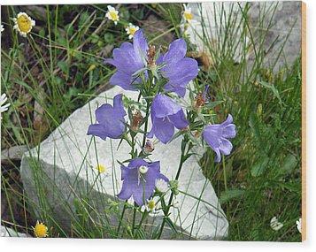 Blue Campanula Flower Wood Print by Vicky Tarcau