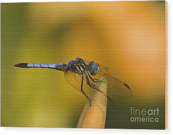 Blue Dasher - D007665 Wood Print by Daniel Dempster