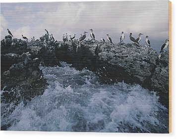 Blue-footed Boobies On A Rocky Wood Print by Annie Griffiths
