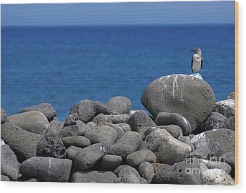 Blue-footed Booby On A Rock By Ocean Wood Print by Sami Sarkis