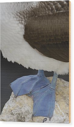 Blue-footed Booby Sula Nebouxii Wood Print by Pete Oxford