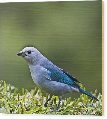 Blue-grey-tanager Wood Print by Heiko Koehrer-Wagner