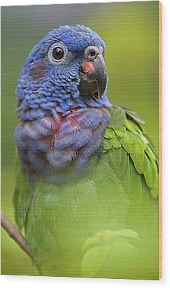 Blue-headed Parrot Pionus Menstruus Wood Print by Ingo Arndt