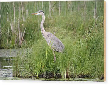Blue Heron In Grasses Wood Print