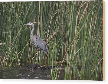 Blue Heron In Water  Wood Print