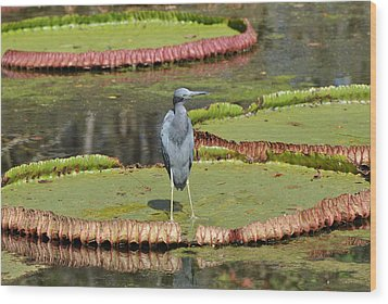 Wood Print featuring the photograph Blue Heron On Giant Lilly Pad by Jodi Terracina