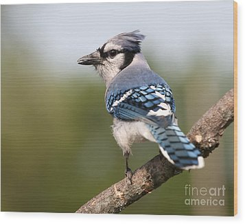 Blue Jay Wood Print by Art Whitton