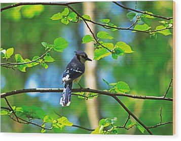 Wood Print featuring the photograph Blue Jay by Josef Pittner