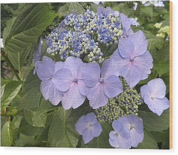 Blue Lacecap Hydrangea Wood Print by Kate Gallagher