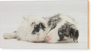 Blue Merle Border Collie With Guinea Pig Wood Print by Mark Taylor