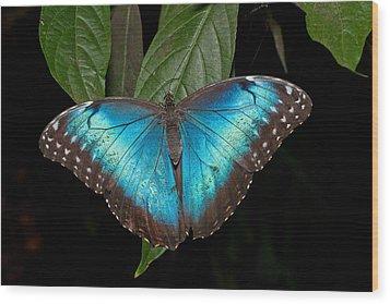 Blue Morpho Butterfly Wood Print