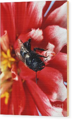 Blue Orchard Bee Wood Print by Science Source