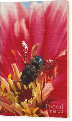 Blue Orchard Bee Wood Print by Scott Bauer