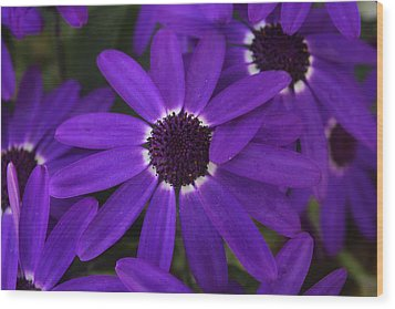 Wood Print featuring the photograph Osteosperumum by David Grant