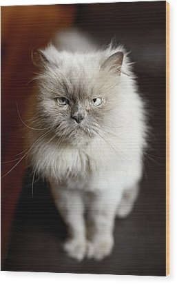 Blue Point Himalayan Cat Looking Irritated Wood Print by Matt Carr