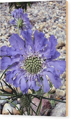 Blue Scabiosa Wood Print by Susan Fisher