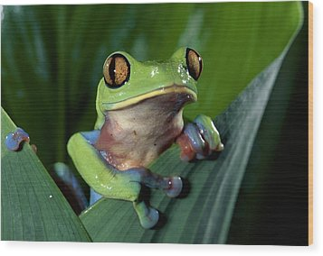 Blue-sided Leaf Frog Agalychnis Annae Wood Print by Michael & Patricia Fogden