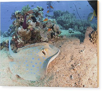 Blue-spotted Stingray Wood Print by Photostock-israel