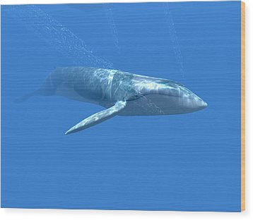Blue Whale Wood Print by Christian Darkin