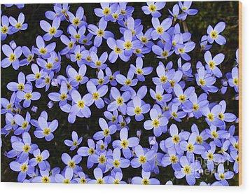 Bluets In Shade Wood Print by Thomas R Fletcher