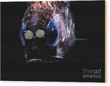 Blunt Face Lampfish Wood Print by Dante Fenolio
