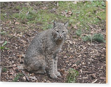 Wood Print featuring the photograph Bobcat - 0017 by S and S Photo