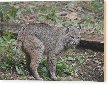 Wood Print featuring the photograph Bobcat - 0019 by S and S Photo