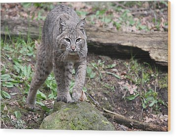 Wood Print featuring the photograph Bobcat - 0020 by S and S Photo
