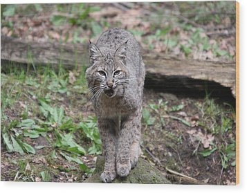 Wood Print featuring the photograph Bobcat - 0021 by S and S Photo
