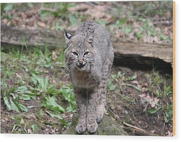Wood Print featuring the photograph Bobcat - 0022 by S and S Photo