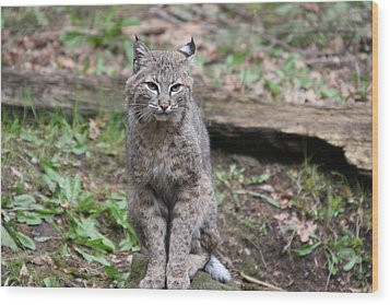 Wood Print featuring the photograph Bobcat - 0024 by S and S Photo