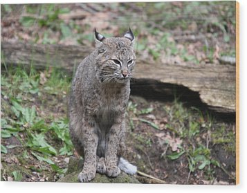 Wood Print featuring the photograph Bobcat - 0025 by S and S Photo