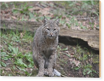 Wood Print featuring the photograph Bobcat - 0026 by S and S Photo
