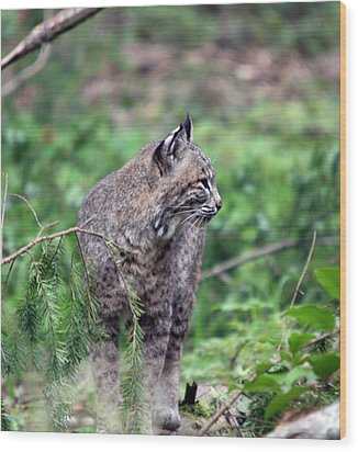 Wood Print featuring the photograph Bobcat - 0027 by S and S Photo