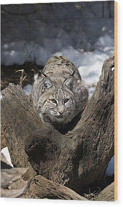 Bobcat  Wood Print by Jeff Grabert