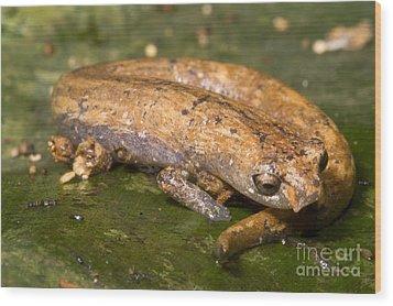 Bolitoglossine Salamander Wood Print