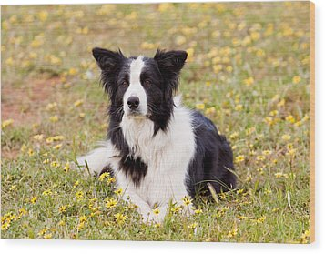 Border Collie In Field Of Yellow Flowers Wood Print
