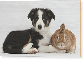 Border Collie Pup And Netherland-cross Wood Print by Mark Taylor